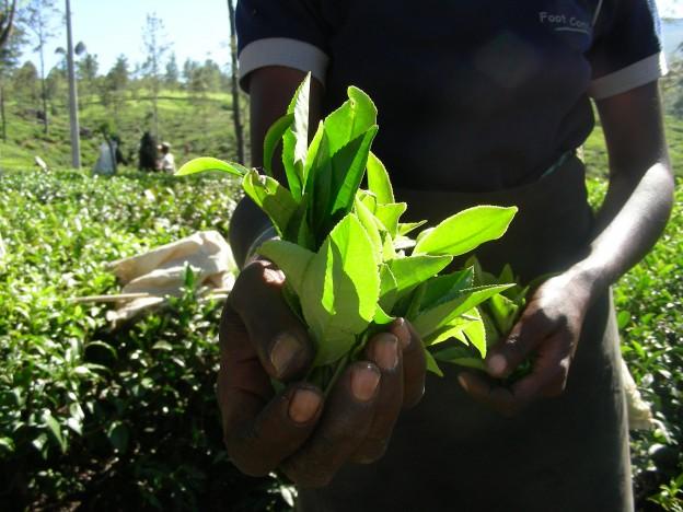 『紅茶専門店と行くスリランカ セイロンティーの旅』2020年9月スリランカツアー参加者募集のお知らせ